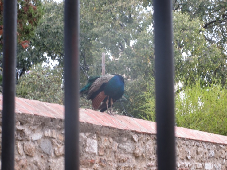 """Here's a picture of a peacock to break up the text. This has nothing to do with this blog post. But in case you were curious, this peacock's name is Joder because it was in a tree and when the assistant director of my program looked up at it he said, """"Joder!"""" (which means """"fuck""""). In Spanish, peacock is """"Pavo Real"""" which translates to """"Royal Turkey,"""" so sometimes I accidentally say """"turkey"""" instead of """"peacock"""" in English."""